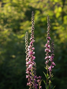 Purple Loosestrife in my Garden. Feels like Summer.
